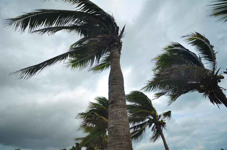 Palm trees blow from Matthews's Wind